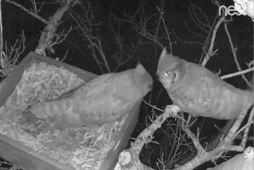 Two owls in Nest